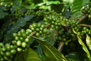 CoffeePlantations
